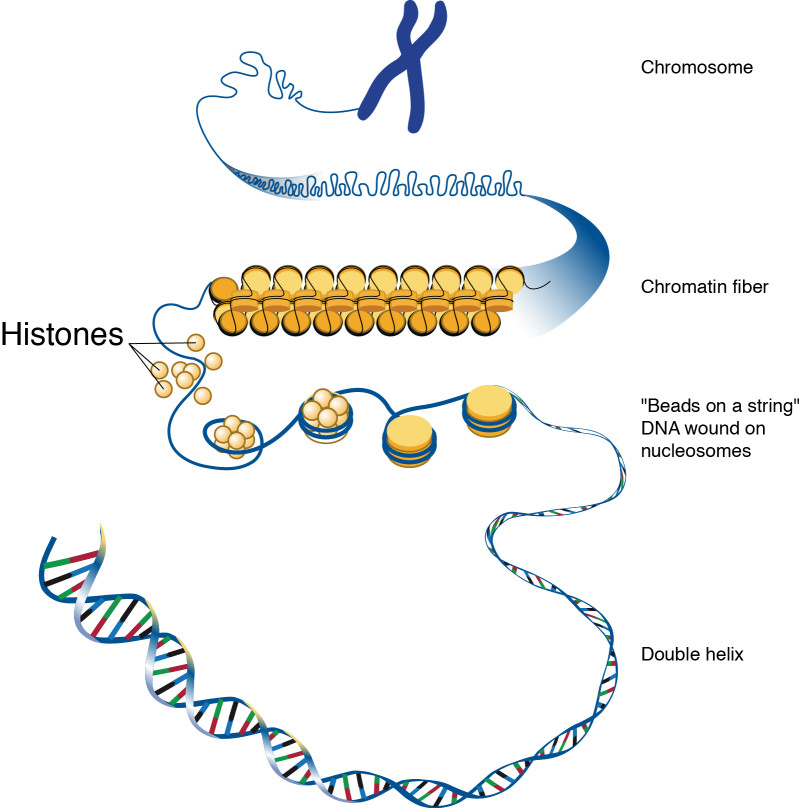 DNA in chromatineverpakking