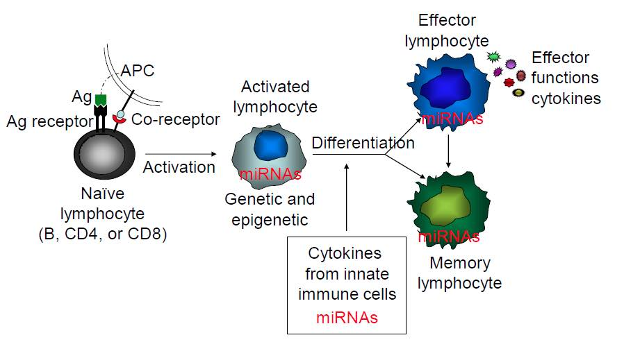 microRNA-moleculen regel genexpressie