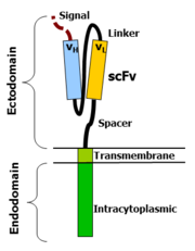 Chimere antigeenreceptor (CAR)